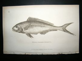 Shaw C1810 Antique Fish Print. Gold-Tailed Sparus